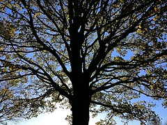 Tree against the sun (BrooksieC) Tags: tree silhouette branches contraluz againstthelight leaves contrajour ireland belfast northernireland