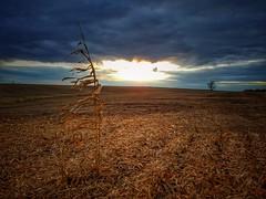 sole survivor.... (BillsExplorations) Tags: survivor cornfield field sunset clouds sky agriculture farming harvest solesurvivors illinois