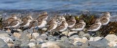 20190829Z7_7951FLR (cisco42) Tags: bc britishcolumbia canada beach westernsandpiper rocks pebbles sea water