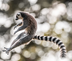 Flying Lemur-1 (tiger3663) Tags: ring tailed lemur yorkshire wildlife park flying jumping