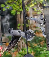 Food Fight (Portraying Life, LLC) Tags: cropapsc dbg6 hddfa150450 k1mkii michigan pentax ricoh topazaiclear unitedstates bird closecrop handheld nativelighting backyard feeder
