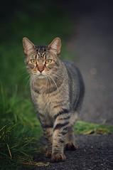 Zufällige Begegnung (VintageLensLover) Tags: katzen cats haustiere pets natur outdoor olympus em1 zuiko40150f28pro