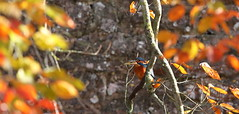 Autumnal Fish (Robin M Morrison) Tags: kingfisher moat bishopspalace wells somerset