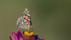 Painted Lady 7437 (Paul McGoveran) Tags: butterfly nature nikond850 norfolkcounty paintedlady wings flower sunrays5 coth5