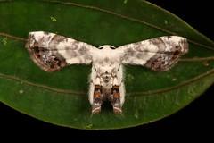 Epiplemiine Moth (Epipleminae, Uraniidae) (John Horstman (itchydogimages, SINOBUG)) Tags: insect macro china yunnan itchydogimages sinobug entomology canon moth lepidoptera epipleminae uraniidae fbipm explore topf25 topf50
