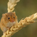 Happy Harvest Mouse