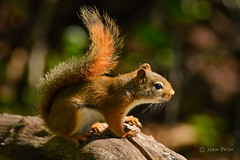 Time out! (John Prior 55) Tags: burlington lasallepark ontario redsquirrel squirrels forests wildlife nature bokeh timeout hyperactive territorial
