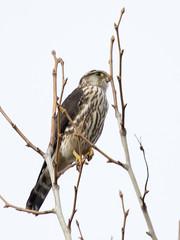 Merlin - Falco columbarius (Dave Boltz) Tags: birds canon7dmarkii outdoors nature wildlife lakefrederick frederickcounty virginia falcocolumbarius merlin falcon
