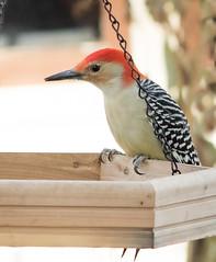 Red-bellied Woodpecker - male (mahar15) Tags: maleredbelliedwoodpecker wildlife nature bird redbelliedwoodpecker outdoors malewoodpecker backyardbirds woodpecker