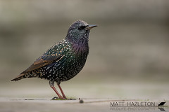 Starling (Matt Hazleton) Tags: starling sturnusvulgaris bird wildlife nature animal outdoor canon canoneos7dmk2 canon100400mm eos 7dmk2 100400mm matthazleton matthazphoto london hydepark iridescence colour