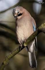 Eurasian Jay (Mick Erwin) Tags: nikon afs 600mm f4e fl ed vr lens d850 mick erwin stoke trent staffordshire wildlife nature autumn jays eurasianjay jaybird eurasian jay garrulus glandarius corvid