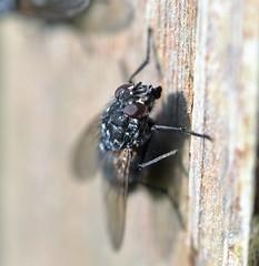FlyDay Friday FleshFly (conall..) Tags: nikon afs nikkor f18g lens 50mm prime primelens nikonafsnikkorf18g closeup raynox dcr250 macro county down tullynacree nw551041 annacloy garden northernireland fly polietes muscid muscidae