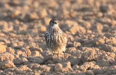 Merlin (falco columbarius) (mrm27) Tags: merlin falcocolumbarius falco negev israel