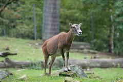 Opel Zoo Kronberg (markusgeisse) Tags: opel zoo kronberg tier animals sony alpha tele teleobjektiv zoom tampon nature natur