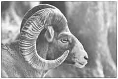 Horns auround (markusgeisse) Tags: opel zoo kronberg tier animals sony alpha tele teleobjektiv zoom tampon nature natur bw schwarzweiss black white