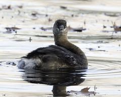 pied-billed grebe (material guy) Tags: piedbilledgrebe hornpond woburn massachusetts