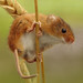 Harvest Mouse Gymnastics