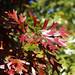 Shumard oak leaves