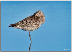 Bar-tailed Godwit (Bear Dale) Tags: bartailed godwit having snooze with its long beaked tucked one leg up scientific name limosa lapponica nikkor afs 200500mm f56e ed vr ulladulla southcoast new south wales shoalhaven australia beardale lakeconjola fotoworx milton nsw nikond850 photography framed nature nikon bear d850 blue water saltwater ocean estuary bird wader resting naturephotography naturaleza