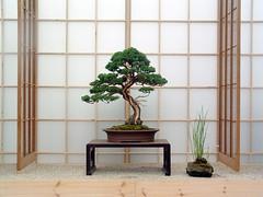 dscf0032 (Allen Roffey) Tags: bonsai juniper tree