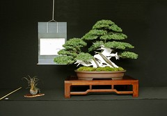 bonsai_juniper_capel_oct08_mg_0969 (Allen Roffey) Tags: juniper