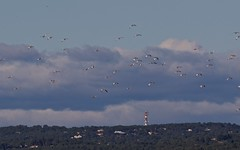 Outarde canepetiére - BFIM8793 (6franc6) Tags: occitanie languedoc gard 30 nîmesest novembre 2019 6franc6 vélo kalkoff vae