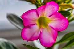 Desert Rose (Geoffsnaps) Tags: skylumluminar3 nikonviewnxi adobephotoshopcc nikond810 nikon d810 fx nikonnikkor200mmf4difedafmicromacro nikkor 200mm f4d f4 if ed af micro macro 4 d rose desertrose desert adeniumobesum adenium obesum prettyinpink pink red flower pretty beautiful floral plant