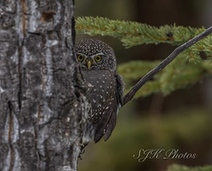 Northern Pygmy Owl Explore 9/11/2019 (21orion) Tags: northern pygmy owl alberta canada