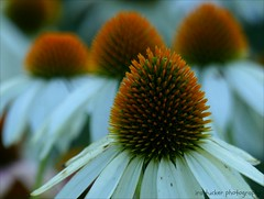 There are always reasons why no one could ever love you.... (itucker, thanks for 5+ million views!) Tags: macro bokeh hff echinacea coneflower dukegardens