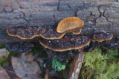 Pruun kõrbik, mustjas kõrbik; Gloeophyllum sepiarium; aidaskääpä (urmas ojango) Tags: seened fungi pruunkõrbik mustjaskõrbik gloeophyllumsepiarium aidaskääpä gloeophyllales gloeophyllaceae gloeophyllum kõrbik
