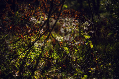 Scintillating... (Sarah Rausch) Tags: radioactive 14 rikenon55mm14 vintageglass sunlight natural nature wild hsos smileonsaturday glow letitglow branches backlight leaves wildchamomile flowers bokeh shadows depth depthoffield rich