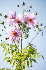 DSC00506 (Keishi Etoh rough-and-ready photoglaph) Tags: flower tamronsp90mmf2552b tamron 90mm mf manualfocuslens fixedfocallengthlens oldlens tamronadaptall2 単焦点 中望遠 sony a7riii sonya7riii 35mmfullframe ilce7rm3 sonyilce7rm3