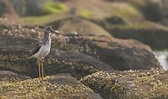 20190829Z7_7192FLR (cisco42) Tags: bc bird britishcolumbia canada creek greateryellowlegs rocks barnacle