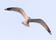 Flying in Morning Light (Patricia Ware) Tags: birdsinflight bolsachicaecologicalreserve california canon ef400mmf4doisiiusmlens handheld huntingtonbeach seagull ©2019patriciawareallrightsreserved specanimal