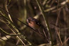 Chaffinch  44 (Bill Cumming) Tags: fife kinghorn kinghornloch birdsanctuary chaffinch