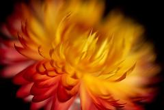 Supernova (LadyBMerritt) Tags: flower afloweraday flowerpower macroflower macronature nature plant petals warm strawflower everlasting
