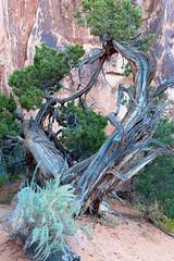 Juniper (~jar[o]) Tags: arches utah juniper tree