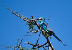 Rollier d'Abyssinie (pguiraud) Tags: rollier dabyssinie coracias abyssinicus serge guiraud bijagos archipel des oiseaux rapaces birds vautour afrique dafrique de louest
