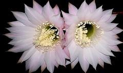 Echinopsis oxigona (mnovela2293) Tags: echinopsis oxigona cactáceas cactus originario sudamérica riegomoderado solpleno formade echino