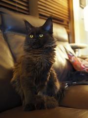Luna Moonshadow 11/8/19 (Sivyaleah (Elora)) Tags: maine coon kitten cat feline black smoke portrait olympus zuikio 17mm penf mirrorless