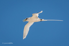 White-tailed Tropicbird 501_8602.jpg (Mobile Lynn) Tags: birds seabirds inflight whitetailedtropicbird nature bird coast coastal fauna flight flying phaethonlepturus sea seabird shorebird shorebirds wildlife seychelles specanimal