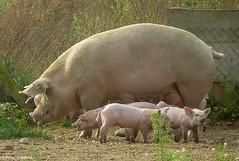 Happy pigs (peterkaroblis) Tags: germany deutschland mecklenburgvorpommen schwein pig tier animal babe farm bauernhof