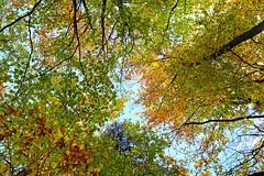 Autumn foliage (hbensliman.free.fr) Tags: fontainebleau forest landscape travel foliage france pentax pentaxart nature plants outdoor outside autumn season europe leaf