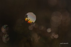 Laat het schijnen / Let it glow (roelivtil) Tags: smileonsaturday letitglow heather heide reflections backlit