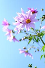 DSCF2334 (Keishi Etoh rough-and-ready photoglaph) Tags: fujifilm xh1 fujifilmxh1 apsc fujinonxf56mmf12r fujinon fuji 840mm primelens fixedfocallengthlens 単焦点 中望遠 flower