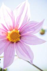 DSC00504 (Keishi Etoh rough-and-ready photoglaph) Tags: flower tamronsp90mmf2552b tamron 90mm mf manualfocuslens fixedfocallengthlens oldlens tamronadaptall2 単焦点 中望遠 sony a7riii sonya7riii 35mmfullframe ilce7rm3 sonyilce7rm3