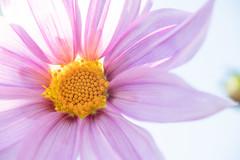DSC00501 (Keishi Etoh rough-and-ready photoglaph) Tags: flower tamronsp90mmf2552b tamron 90mm mf manualfocuslens fixedfocallengthlens oldlens tamronadaptall2 単焦点 中望遠 sony a7riii sonya7riii 35mmfullframe ilce7rm3 sonyilce7rm3