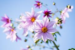 DSC00495 (Keishi Etoh rough-and-ready photoglaph) Tags: flower sony sonyfe135mmf18gm fe135mmf18gm 135mm primelens fixedfocallengthlens sonye 単焦点 望遠 a7riii sonya7riii 35mmfullframe ilce7rm3 sonyilce7rm3
