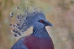 Victoria crowned pigeon (Zara Calista) Tags: victoria crowned pigeon bird texture art portrait blue nikon