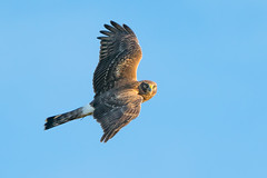 Cold Shoulder (gseloff) Tags: northernharrier bird flight bif raptor nature wildlife brazorianationalwildliferefuge nwr texas gseloff